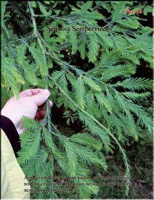 Секвойя – Sequoia Sempervirens
